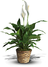 Peace Lily - Small